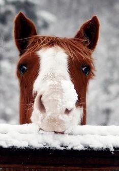 Pferdeschnauze im Schnee. #APASSIONATA