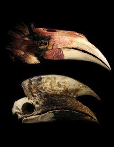 Hornbill skulls