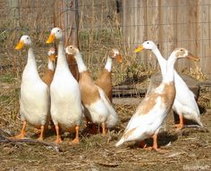 If you're ready to expand outside the realm of chicken eggs and add other layer poultry to your farm, keep these duck breeds in mind.