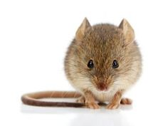 House mouse (Mus musculus) photo by icefront on Envato Elements Felt Animals, Baby Animals, Cute Animals, Mouse Pictures, Animal Pictures, Pictures Of Mice, Hamsters, Rodents, Getting Rid Of Mice