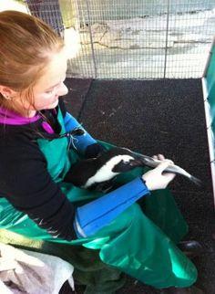 AVIVA #volunteer Aga Kinga Galej feeding an African penguin at #SANCCOB