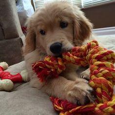 Ellie ♥ golden retriever puppy