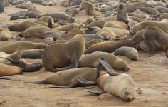 A South African MP has called for a restart to the fur seal hunt. ANC MP Miss Meriam Phaliso has called for the restart of the South African fur seal hunt as a