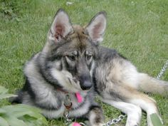"""Many times multiple """"wolfy looking"""" breeds are used (such as a mixture of Malamute, husky and GSD) and when you throw in a smidgen of wolf, can give you an animal that looks like this!"""
