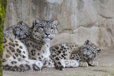 Snow leopards by Guido Wacker on 500px