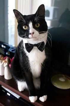 Tuxedo Cat Names Perfect Choice - Tuxedo - Ideas of Tuxedo - mostlycatsmostly: (via Jill and David DeLucia) Cute Cats And Kittens, I Love Cats, Crazy Cats, Cool Cats, Kittens Cutest, Gatos Cats, Photo Chat, Cat Names, Here Kitty Kitty