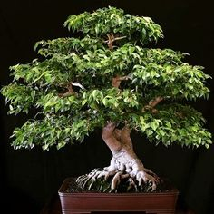 Ficus bonsai and its varieties have become a favorite to many bonsai hobbyists and enthusiasts throughout the world. Learn more about ficus bonsai. Bonsai Ficus, Bonsai Plants, Bonsai Garden, Ficus Tree, Terrarium Plants, Air Plants, Cactus Plants, Bonsai Tree Care, Bonsai Tree Types