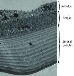 serosal cuticle