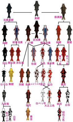 Japanese Kois tree diagram 錦鯉の系統