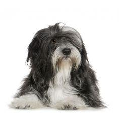 Want one...looks like my old Barney dog.  Tibetan Terrier <3