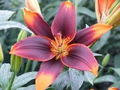 """Asiatic Lily Bulbs """"Starlette""""  Orange Petals Expanding to a Plethora of Red"""