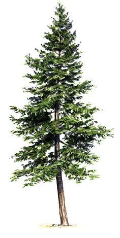 Image result for evergreen tree tattoo