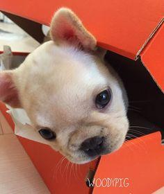 Woody Pig, French Bulldog Puppy