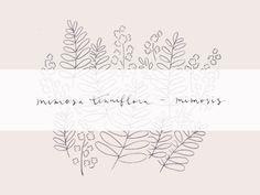 Minnamay_mimosa