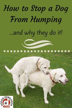 Dogs hump for a lot of different reasons, and it's not always what you think! Learn the reason why, and whether you should stop it. @KaufmannsPuppy