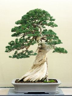 Bonsai Tree Ideas A Guide To Bonsai Trees For Beginners Bonsai Tree Ideas. The art form of bonsai can be a wonderful and unique hobby. Viewing and taking good care of a bonsai collection can be a r… Bonsai Tree Care, Indoor Bonsai Tree, Bonsai Plants, Bonsai Garden, Indoor Plants, Bonsai Trees, Indoor Gardening, Succulents Garden, Air Plants
