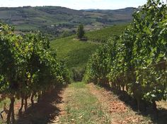 Our wineyard in Romagna area...