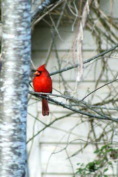 Cardinal in December