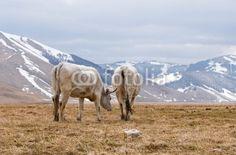 Vacche al pascolo a Castelluccio di Norcia (PG) - Grazing cows © Pietro D'Antonio