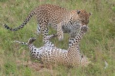 Biff! Take that... A leopard mother & daughter engage in a bit of rough & tumble play in Londolozi Game Reserve, South Africa...probably the best venue in Africa for leopard sightings & photography. #leopard #play #mother #cub #londolozi #southafrica #mysouthafrica #spots #wildphotossafaris #WildlifePlanet #naturephotoportal #ig_africa #igscwildlife #Nikon #nikonmea #nikontop #200mmf2 #d4