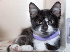 LACY - ID#A465162 - URGENT - Harris County Animal Shelter in Houston, Texas - ADOPT OR FOSTER - 15 WEEK OLD Spayed Female Domestic Longhair - at the shelter since Aug 02, 2016.