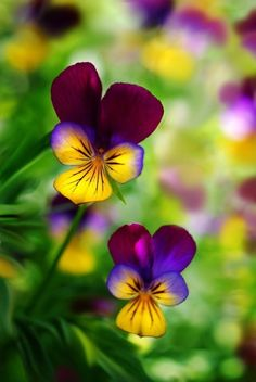 Purple yellow green Burgundy Johnny Jump Ups of Spring / Bokeh