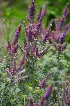 Amorpha canescens or Leadplant ... this is one of the coolest looking plants, really hope it grows successfully!