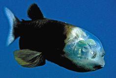 PARANOIA TRAINの日々-深海魚デメニギス(Macropinna microstoma)