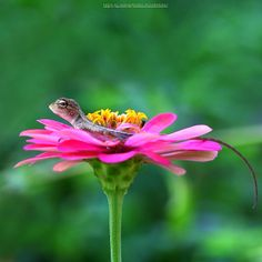 Thai chameleon on the pink flower