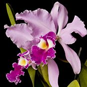 Honduras National Flower | Complete List of National Flowers by Country