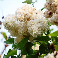 Parce que C'est vendrediii Parce que ça va plus durer longtemps ... parce que les fleurs c'est périssable  Belle journée à tous  . #lilas #unjourunefleurenmai#naturelovers #flowerstagram #fridayflower #unechansonparjour #white#blanc #mygarden #latergram #itsfriday #cestvendrediiii #haveaniceday #bonnejournee #jacquesbrel #lesbonbons Durer, The 4, Instagram Posts, Nature, Beautiful Day, Its Okay, White People, Flowers, Naturaleza