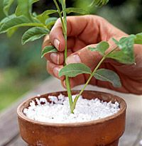 Make More Plants from Cuttings