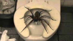 """✶ The giant huntsman spider is the largest spider in the world by leg-span (although there is another that is larger by mass). Its leg-span is twelve inches, which you may know as """"a foot."""" The giant huntsman spider is a scamp who's constantly getting into adorable hijinks [NOT Photo shopped] ✶"""