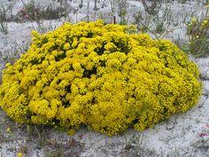 "Verticordiachrysanthella""Feather Flower"""