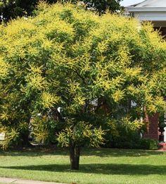 Golden Raintree - Bare Root Plants - Shade Tree - 2 pack w Bonus