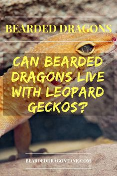 Can Bearded Dragons Live With Leopard Geckos? Why It´s Impossible Leopard Gecko Habitat, Leopard Gecko Care, Leopard Gecko Morphs, Leopard Geckos, Bearded Dragon Tank Setup, Bearded Dragon Lighting, Bearded Dragon Diet, Bearded Dragon Substrate, Bearded Dragon Habitat