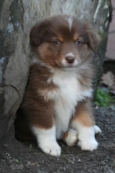 The traits I admire about the Intelligent Australian Shepherd Dogs Australian Shepherds, Aussie Shepherd, Aussie Dogs, Mini Aussie, Cute Puppies, Cute Dogs, Dogs And Puppies, Doggies, Baby Animals