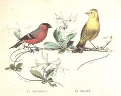 Bouvreuil  Bruant - - Oiseau Animal Bird - Gravure Ancienne Planche 1846