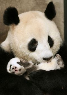 A giant panda hugs a cub at Chengdu Research Base of Giant Panda Breeding in Chengdu, China.