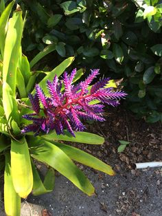 A variety of Bromeliads.  For the love of Purple!!
