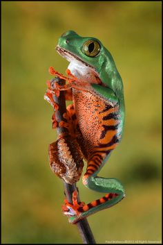 Tiger Striped Leaf Frog