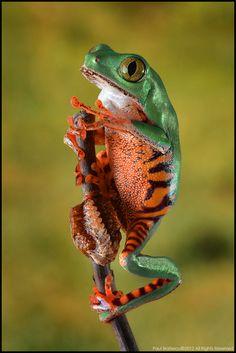 Tiger Striped Leaf Frog