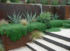 The plant growing around the agaves is a green spruce sedum, cascading succulents.