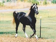 Eagle's Bend Ranch|Rocky Mountain Horses|Sewell's Choclate Blaze