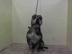 TO BE DESTROYED - 8/18/14 Manhattan Center   My name is LONDON. My Animal ID # is A1010227. I am a male gray and brown pit bull mix. The shelter thinks I am about 1 YEAR   I came in the shelter as a STRAY on 08/12/2014 from NY 10456, owner surrender reason stated was STRAY.