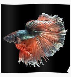 """White Angel Siamese Betta Fish"" Posters by zakugan   Redbubble"