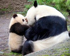 Xiao LIwu the Panda Bear Cub born and mom Bai Yun Baby Panda Bears, Bear Cubs, Baby Pandas, Panda Babies, Giant Pandas, Tiger Cubs, Tiger Tiger, Bengal Tiger, Animals Of The World