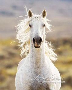 Gray Stallion Approaches - Fine Art Wild Horse Photograph. $65.00, via Etsy.