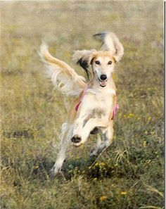 Chance Encounter Sends Saluki Breeder on 40-Year Lure-Coursing Odyssey  By Susan Chaney
