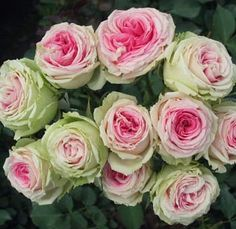 examples of different types of roses with name of the rose - Eden Rose shown